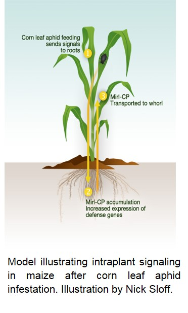 Model illustrating intraplant signaling in maize after corn leaf aphid infestation.